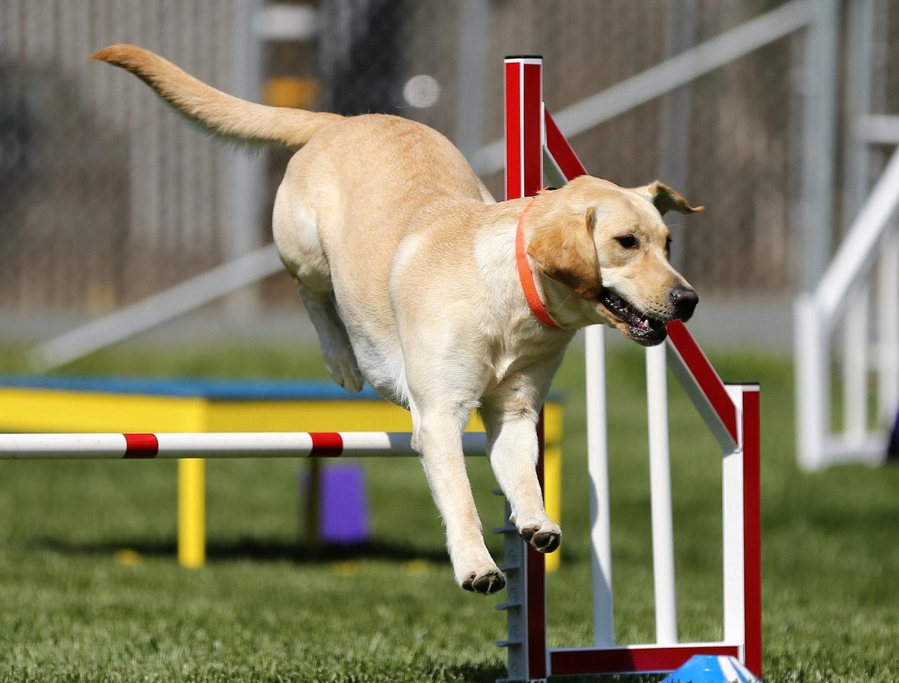 Golden retriever tränar agility