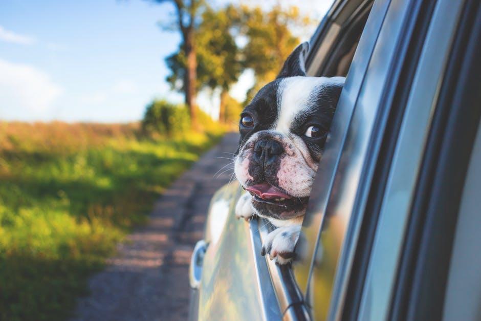 Ett hunduvud utanför bilfönster