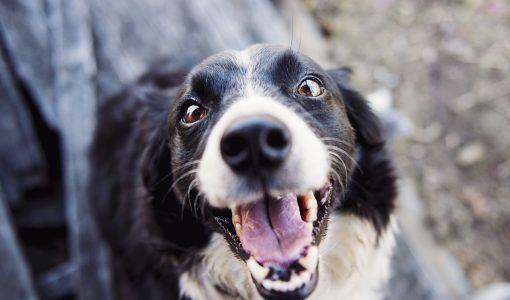 Hund med fina tänder