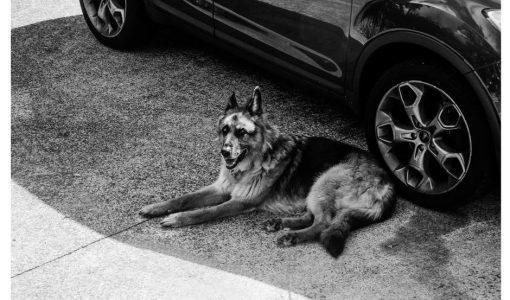 En hund utanför en bil